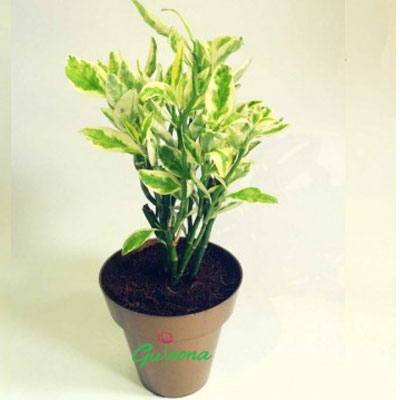 Naagdon-variegated-plant-white